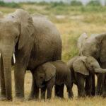 Nằm mơ thấy voi có phải là may mắn? Nên đánh đề con gì?