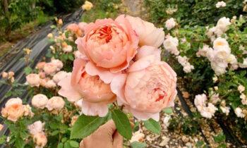 Nằm mơ thấy hoa hồng có điềm báo gì, đánh con số may mắn nào?