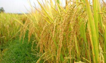 Mơ thấy lúa là điềm gì? Nằm mơ thấy lúa đánh con gì?